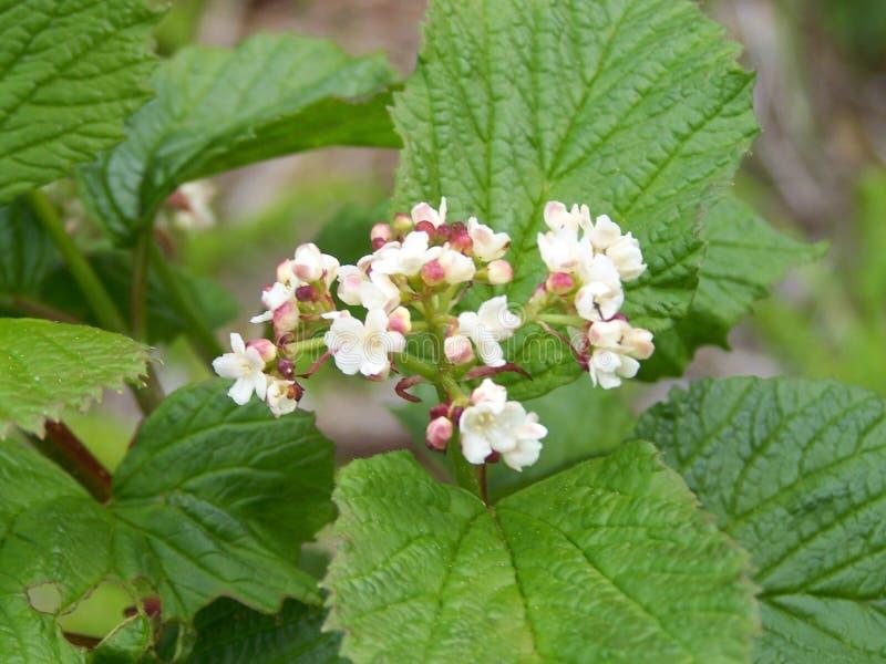 BlomningHighbush tranbär royaltyfria foton