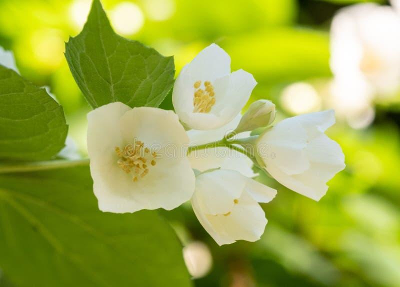 Flötande jasmine royaltyfri foto