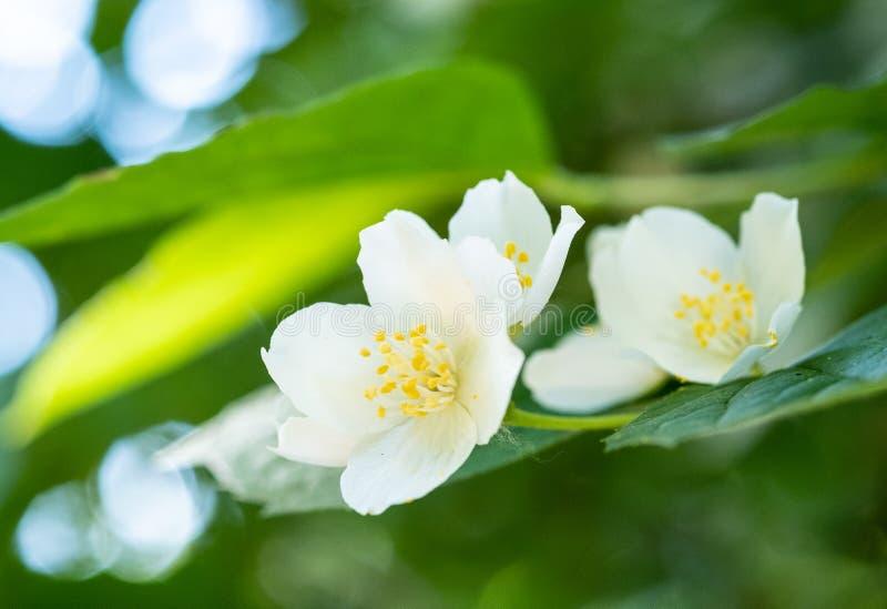 Flötande jasmine royaltyfria bilder