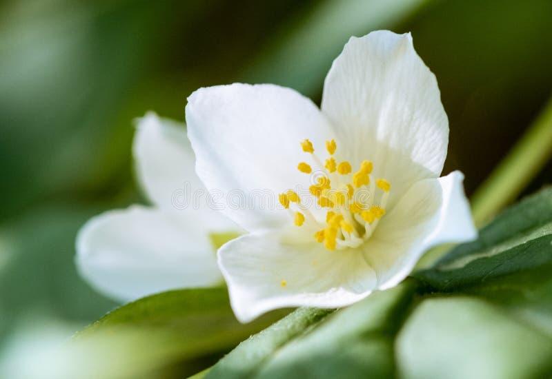 Flötande jasmine arkivfoto