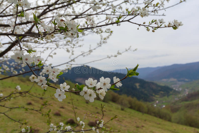 Blomningkörsbär mot bakgrunden av en bergdal royaltyfria foton