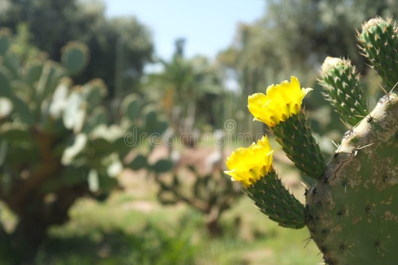 Blomningkaktus i trädgårdar Marrakesh Marocko för El Hatti fotografering för bildbyråer