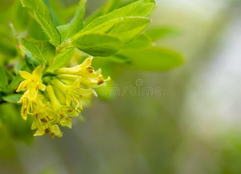 Blomningkaprifol, v?r, massor av blommor av kaprifolcloseupen, p?sk, vykort p? bakgrunden av bl? himmel royaltyfri bild
