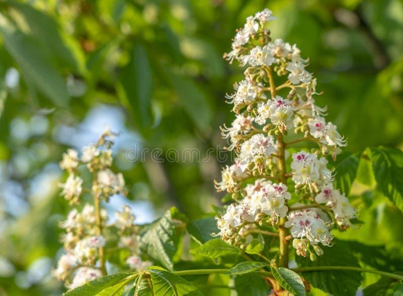 Blomningkastanj som blommar inflorescencen av den kastanjebruna closeupen royaltyfria bilder