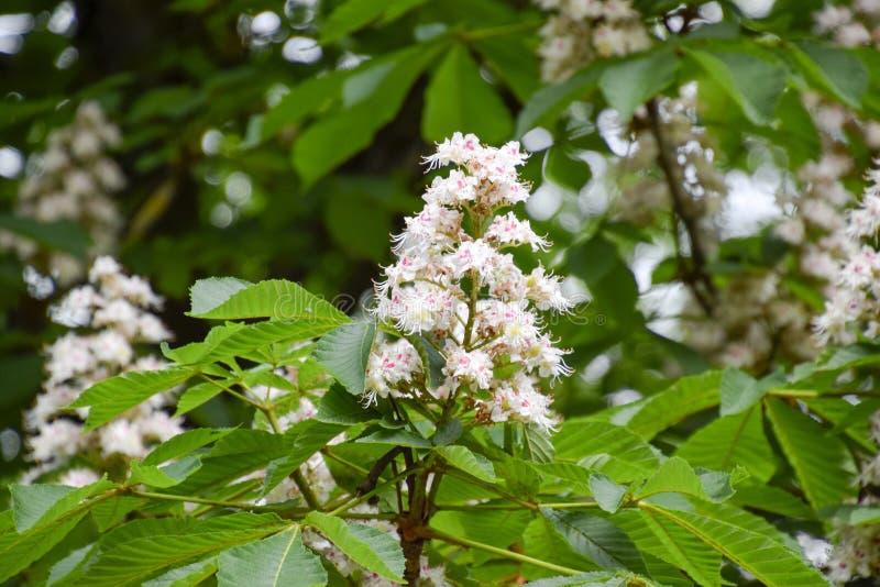 Blomningkastanjhäst Vita grupper av kastanjebruna blommor royaltyfri fotografi