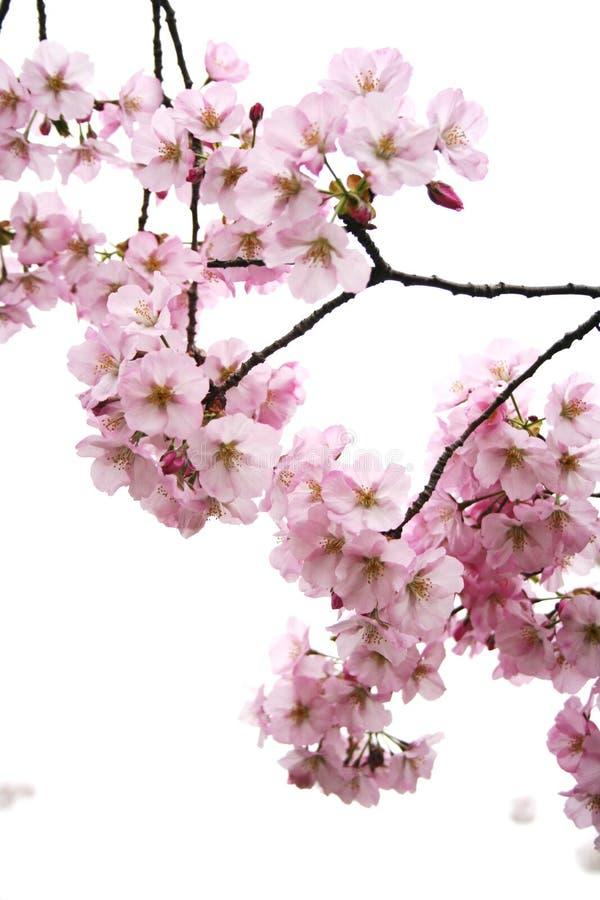 blomningklungor royaltyfri bild