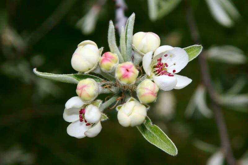 blomningknoppning royaltyfri foto
