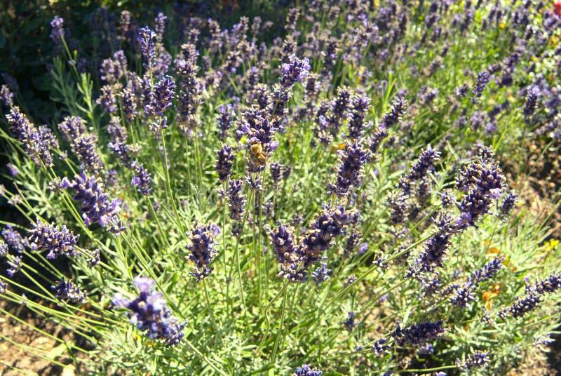 Blomninglavendelbuske på en lantgård i sommar royaltyfri bild