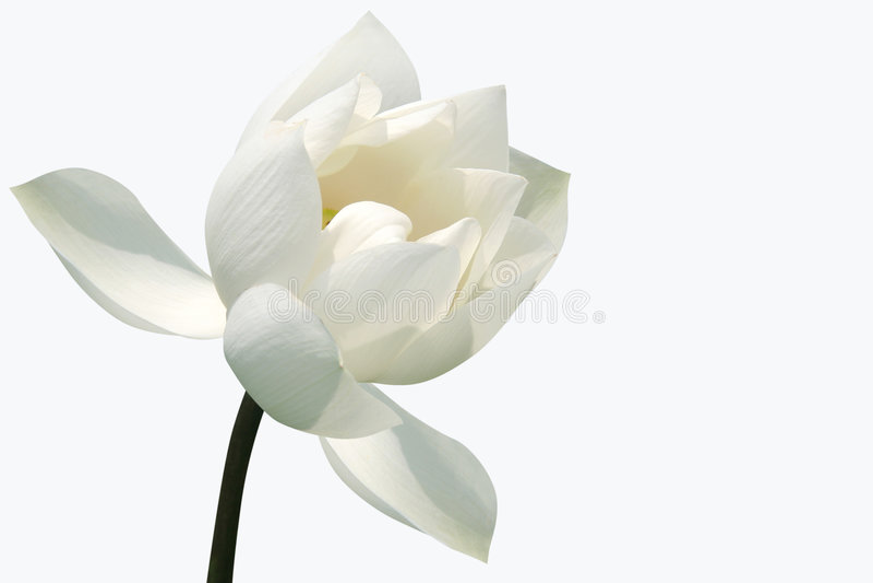 blomninglotusblommawhite arkivfoton