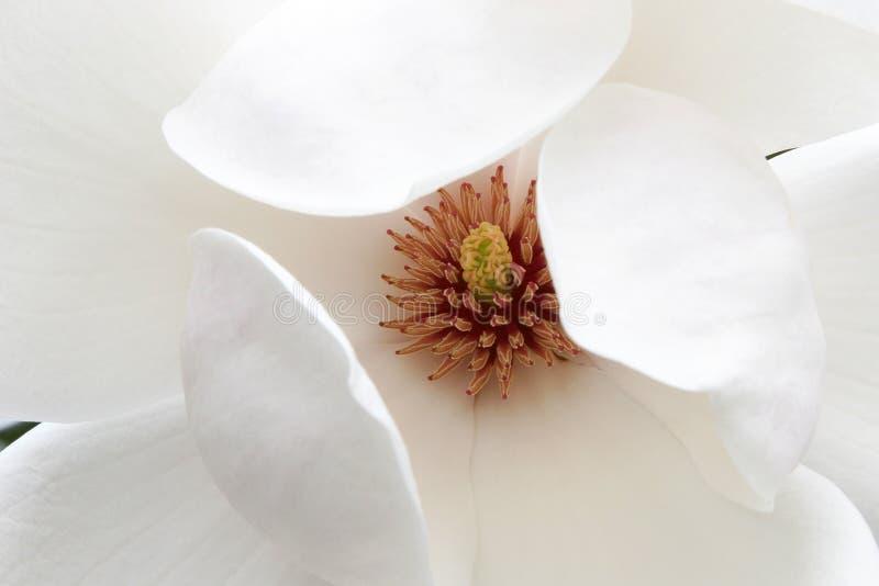 blomningmagnolia royaltyfri fotografi