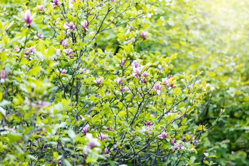 Blomningmagnoliaträd arkivbild