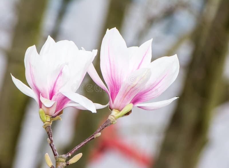 Blomningmagnoliaträd med vita blomningar fotografering för bildbyråer
