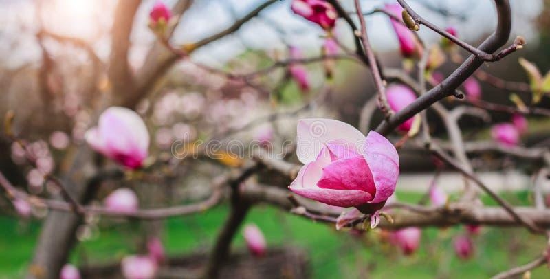 Blomningmagnolior över naturbakgrund Härlig naturplats med det blommande trädet, solen och snö arkivbilder