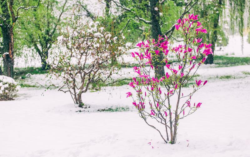 Blomningmagnolior över naturbakgrund Härlig naturplats med det blommande trädet, solen och snö royaltyfri bild