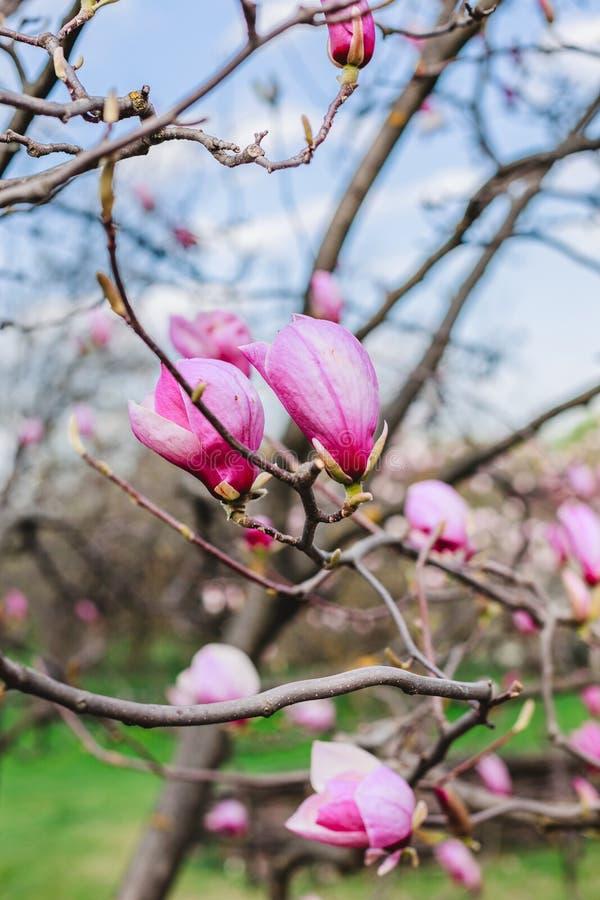 Blomningmagnolior över naturbakgrund Härlig naturplats med det blommande trädet, solen och snö royaltyfria foton