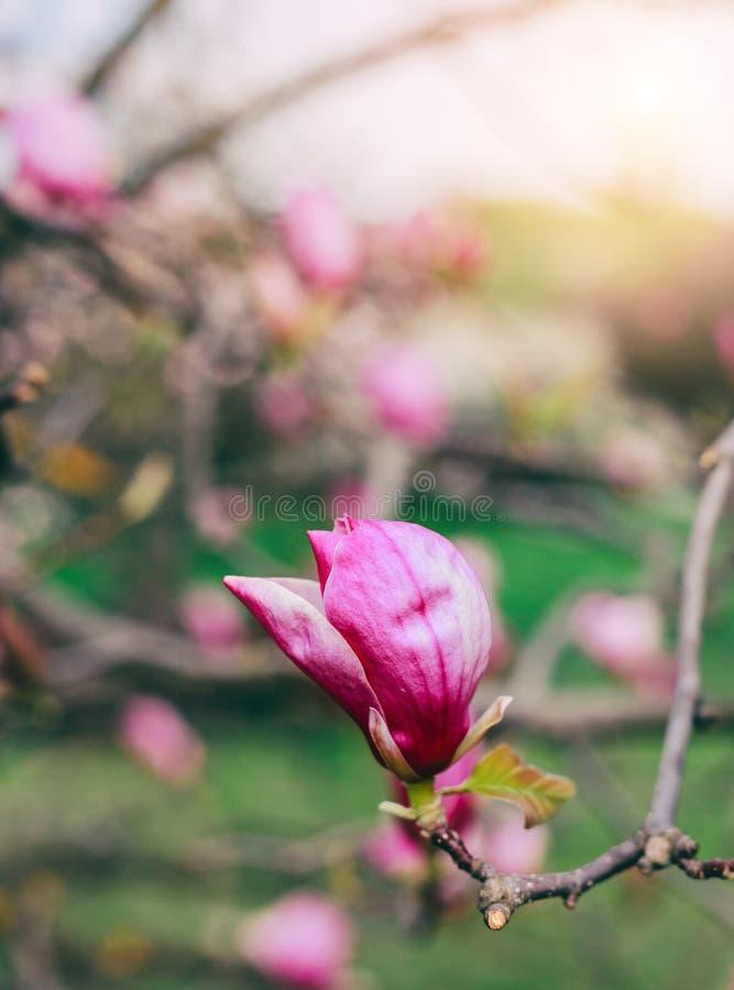 Blomningmagnolior över naturbakgrund Härlig naturplats med det blommande trädet, solen och snö arkivfoto
