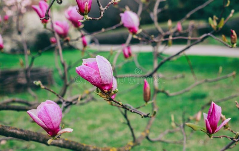 Blomningmagnolior över naturbakgrund Härlig naturplats med det blommande trädet, solen och snö royaltyfri fotografi