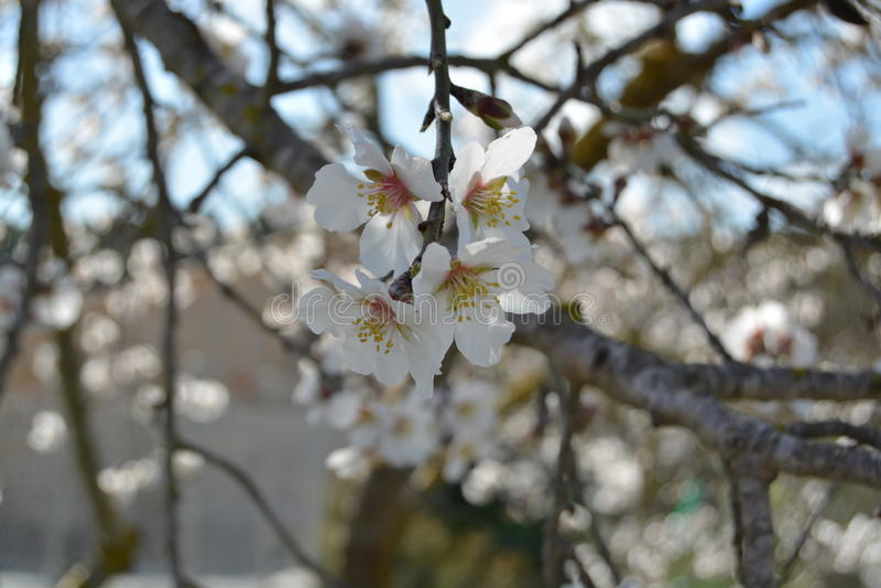 Blomningmandelträd arkivbilder