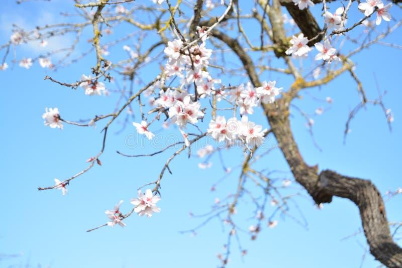 Blomningmandelträd royaltyfri foto