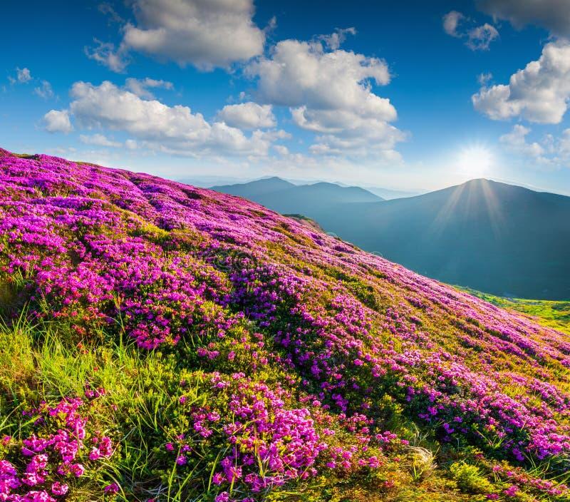 Blomningmatta av rosa rhododendron blommar i bergen royaltyfri foto