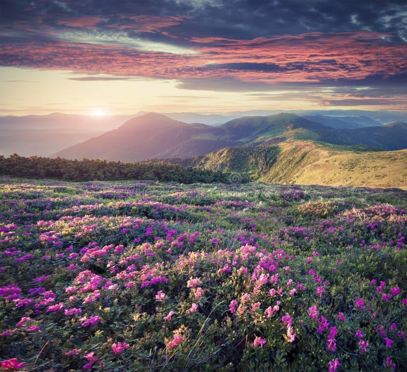 Blomningmatta av rosa rhododendron blommar i bergen på arkivfoto