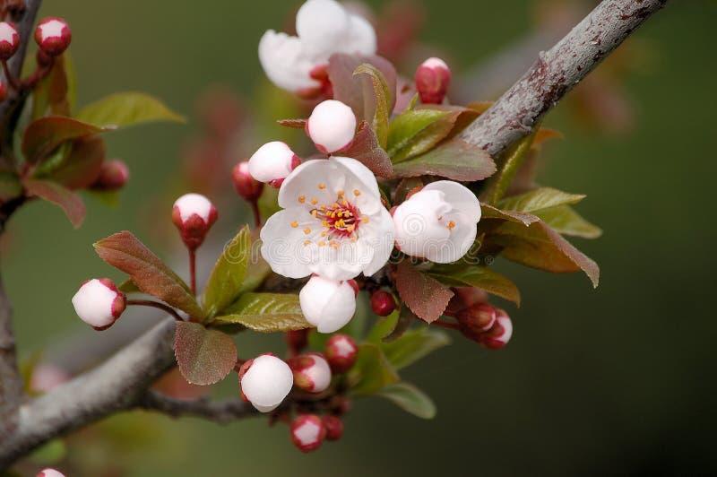 blomningpersika arkivfoto