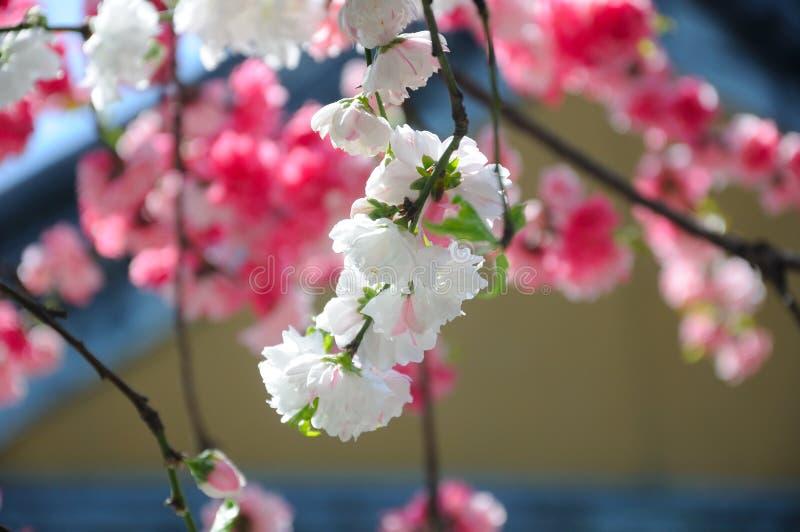 Blomningpersikaträd royaltyfri fotografi