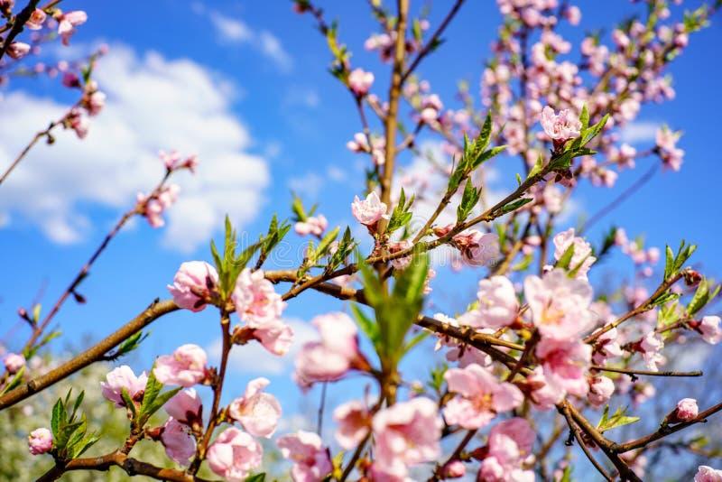Blomningpersikaträd med härliga rosa blommor och små unga gröna sidor mot blå himmel med moln i solskenvårdag fotografering för bildbyråer