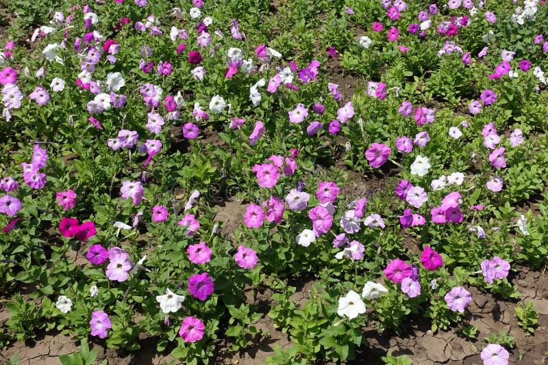 Blomningpetunior i blomsterrabatten arkivbilder