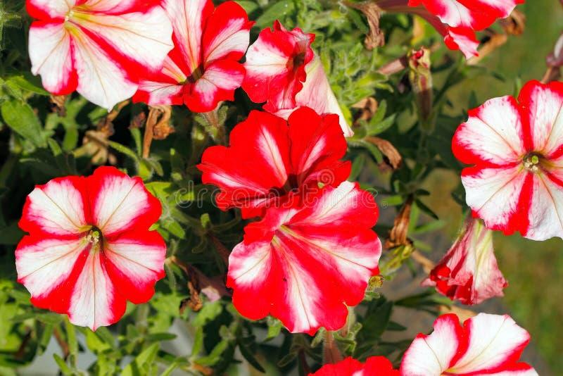 Blomningpetunior på en trädgård royaltyfri foto