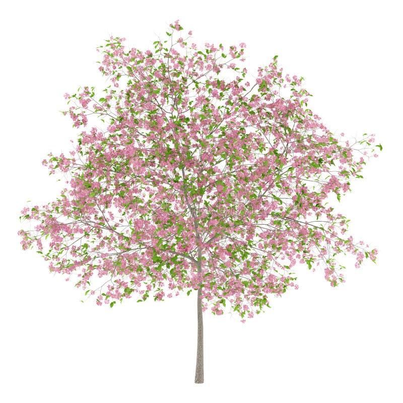 Blomningplommonträd som isoleras på vit royaltyfri illustrationer