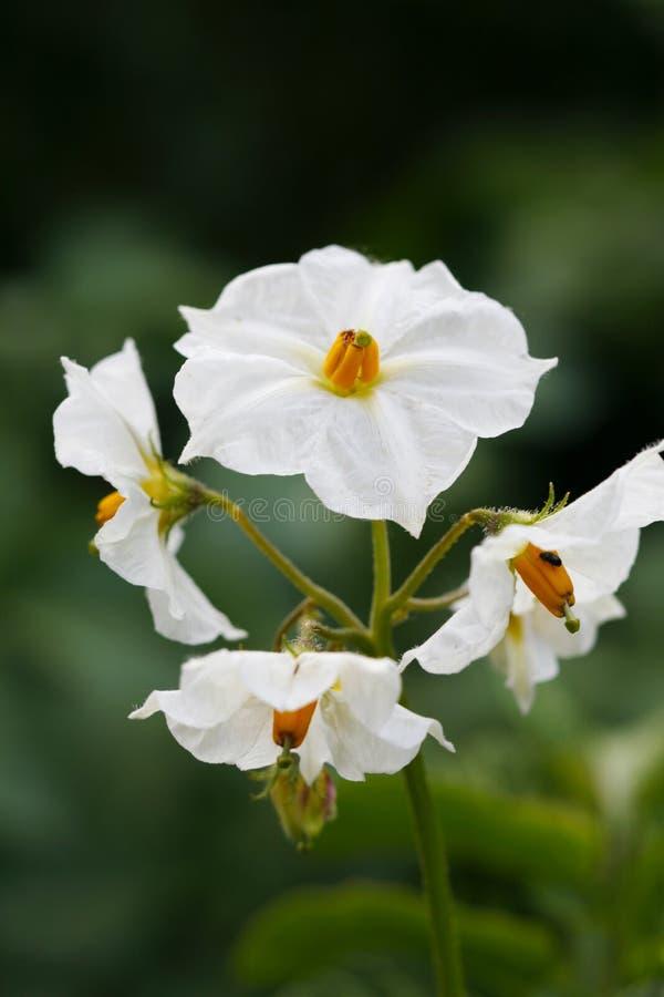 blomningpotatis royaltyfri bild