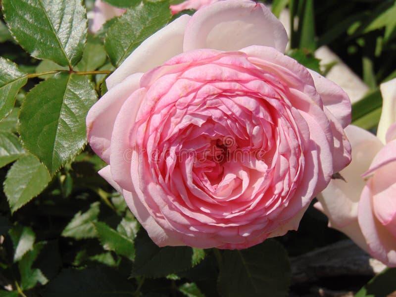 Blomningrosor i sommarträdgården arkivfoton