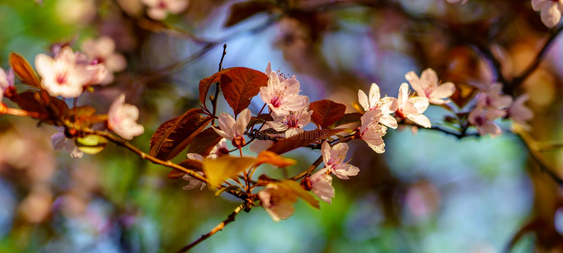 Blomningsakura filial med härliga rosa blommor och bruna sidor i trädgården i solig vårdag royaltyfria bilder