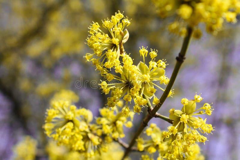 Blomningskogskornell royaltyfri fotografi