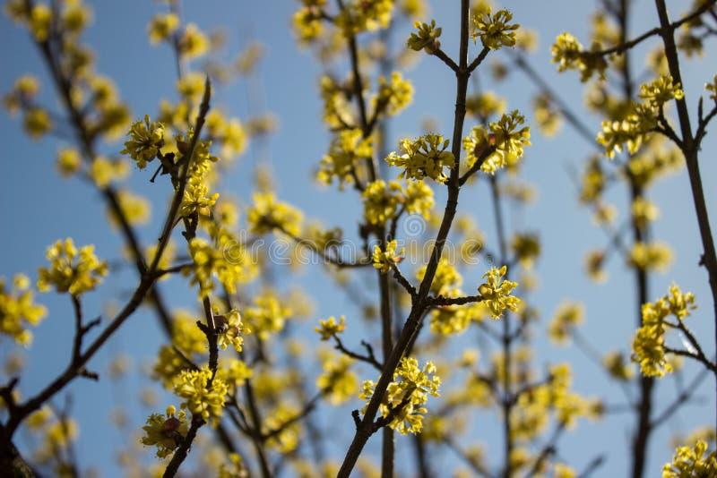 Blomningskogskornell i vårdag i klart väder arkivfoto