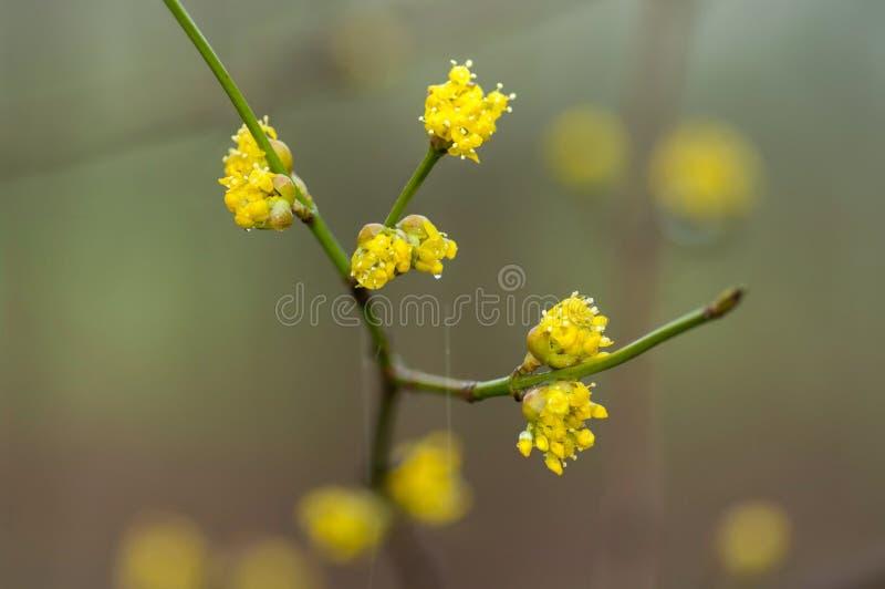 Blomningskogskorneller i regn arkivbild