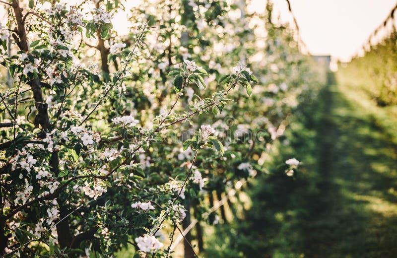 Blomningträd över naturbakgrund Härlig naturplats med att blomma trädgården, solen och snö colors dagen easter global rgb solig arkivbilder