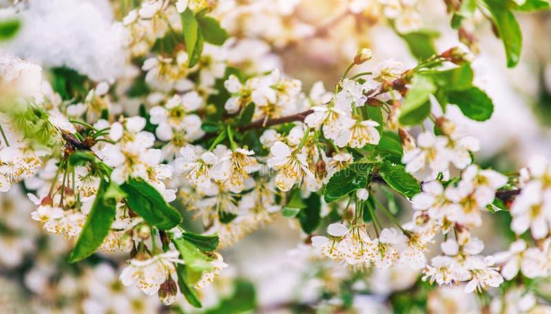 Blomningträd över naturbakgrund Härlig naturplats med det blommande trädet, solen och snö royaltyfria foton