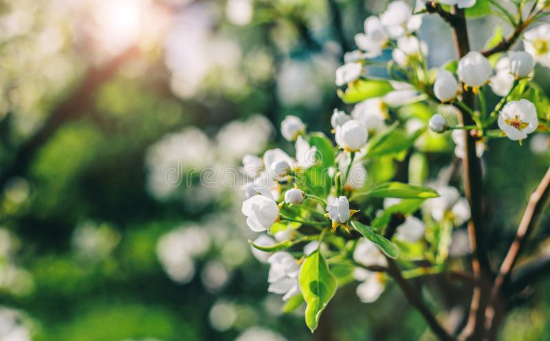 Blomningträd över naturbakgrund Härlig naturplats med det blommande trädet, solen och snö royaltyfri foto
