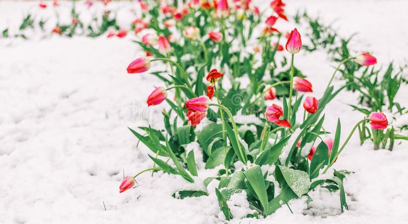 Blomningträd över naturbakgrund Härlig naturplats med det blommande trädet, solen och snö fotografering för bildbyråer