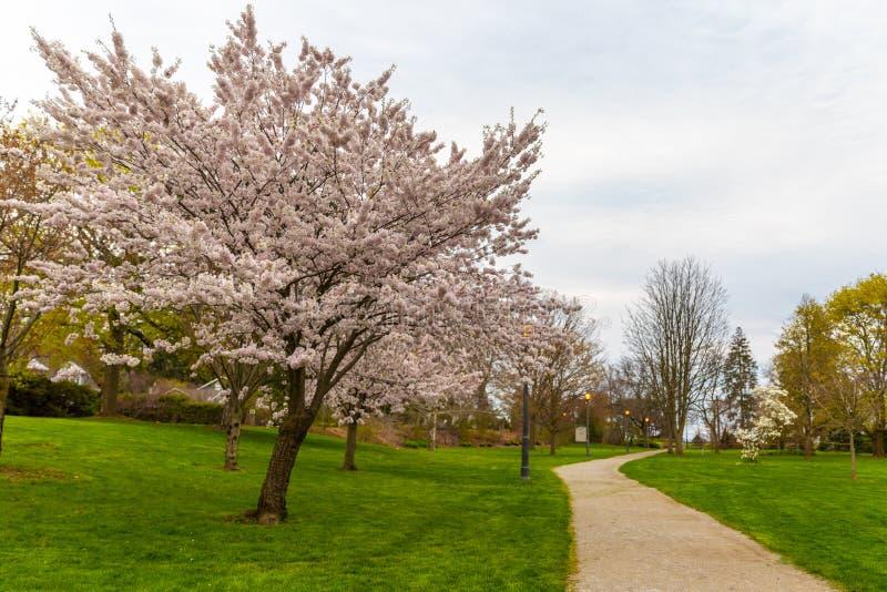 Blomningträd i Toronto Kanada parkerar arkivbild