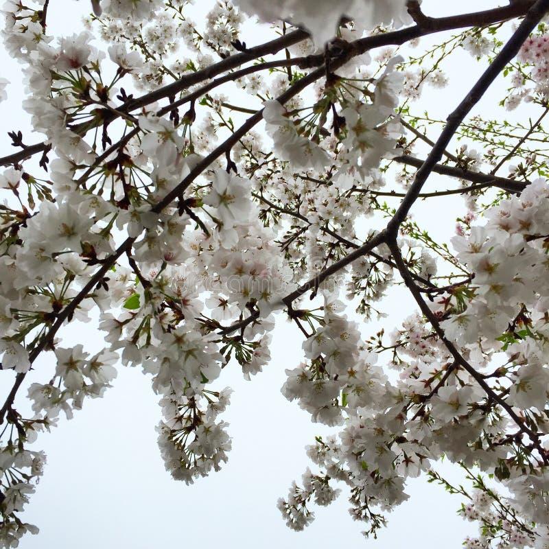 Blomningträd i vår royaltyfria bilder