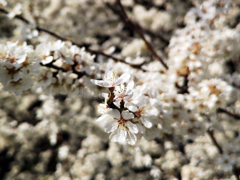 Blomningträd - vår arkivfoto