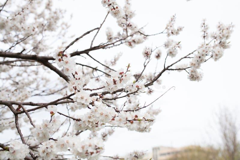 Blomningträdet över blommor för naturbakgrundsvåren fjädrar arkivfoto