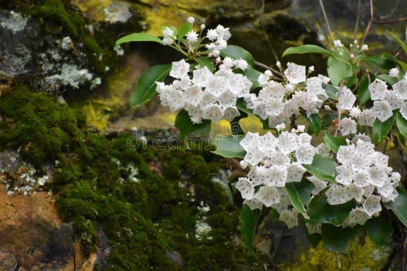 Blomningträdet nära en täckt mossa vaggar i den rökiga bergnationalparken arkivbilder