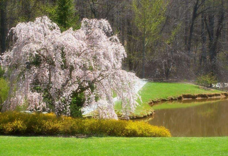 blomningtree fotografering för bildbyråer