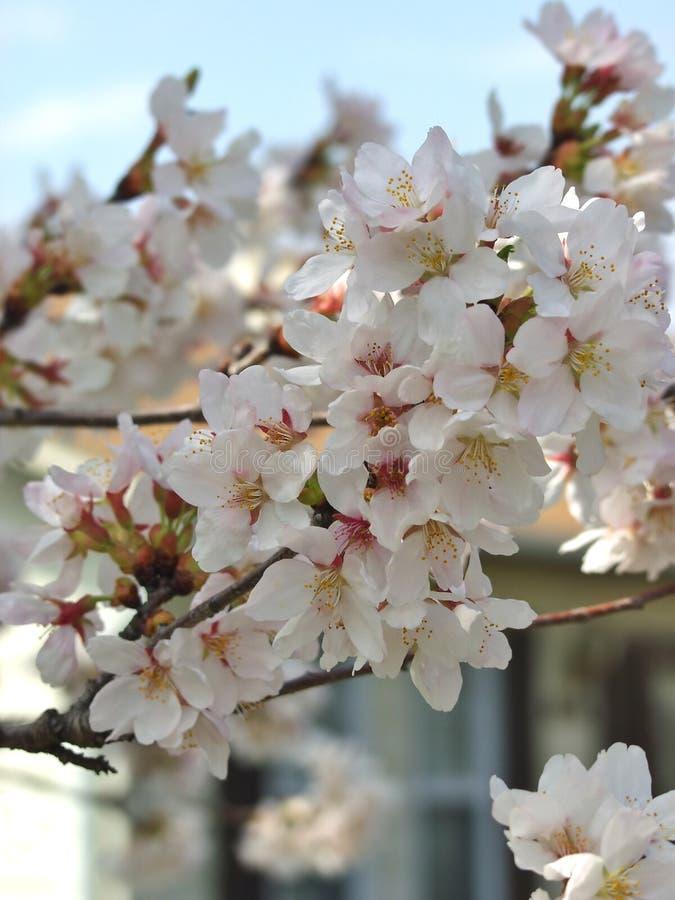 Download Blomningtree arkivfoto. Bild av makro, tree, vildmark, vitt - 507954