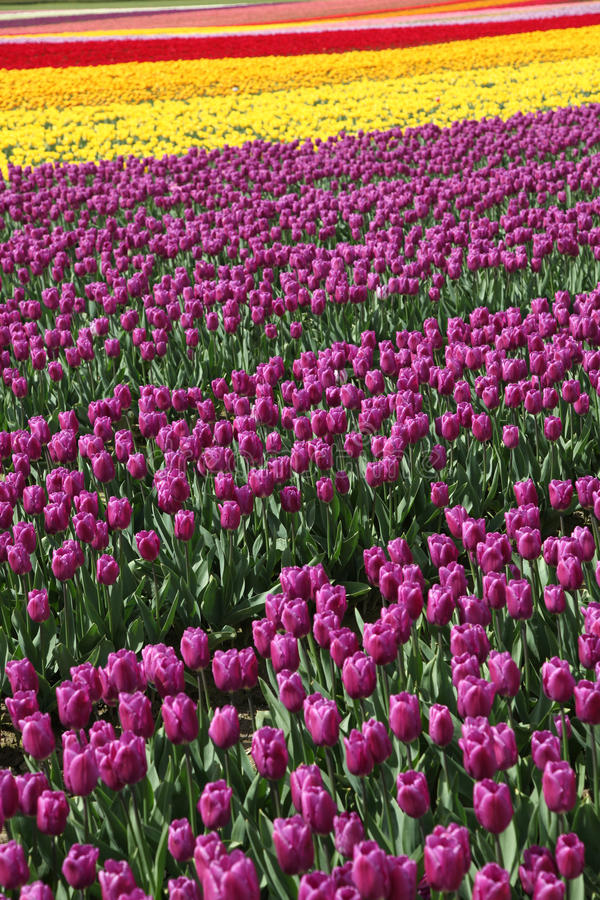 blomningtulpan arkivfoto