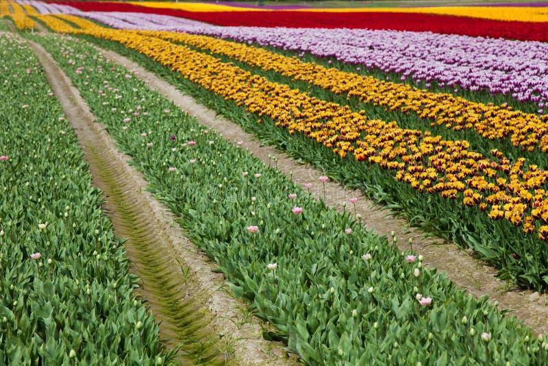 Blomningtulpanbakgrund royaltyfria foton